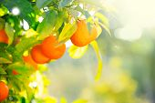 Ripe oranges or tangerines hanging on a tree. Beautiful Healthy organic juicy orange growing in Sunn poster