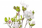 Rhododendron White Pink Flowers Isolated On White Background.purple Rhododendron Is Blooming. Heathe poster