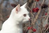 Portrait Of A Domestic Cat Of White Color With Big Eyes. Cute Clean Cat. White Cat With A Pink Nose. poster