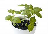 Basil (ocimum Basilicum), Great Basil Or Saint Josephs-wort, Is A Culinary Herb Of The Family Lamiac poster
