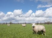 Sheep In Green Meadow Near Utrecht In The Dutch Countryside Under Blue Sky And White Clouds On Early poster