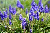 Blue bell flowers, shallow depth of field