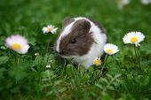 Young guinea pig between daisies