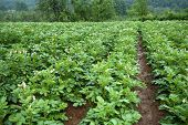 picture of solanum tuberosum  - Potato field - JPG