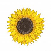 Elegant Natural Realistic Drawing Of Sunflower Head. Detail Or Part Of Gorgeous Flower Or Cultivated poster