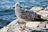 Young seagull by the sea