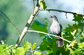 Singing Catbird