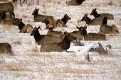 Elk Herd In Winter