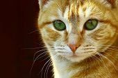 A Green Eyed Red Ginger Cat Staring At Camera poster