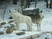 stock photo of north american gray wolf  - Howling Wolves International Wolf Center Ely Minnesota - JPG