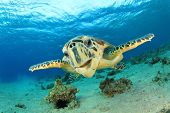 Turtle (Hawksbill Sea Turtle) underwater