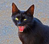 gato preto com raiva