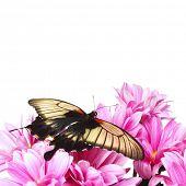 Papilio Lovii  on the flowers