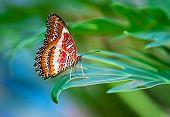 Leopard Florfliege Schmetterling
