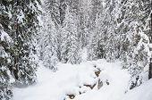 Winter forest in Bansko.