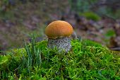Small Orange-cap Boletus