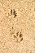 Dog footsteps in sand