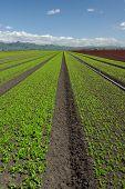 Lettuce Field Landscape: Green Vertical