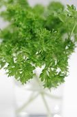 Bunch Of The Parsley's Leaves