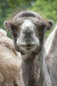 Portrait of a young camel close up