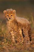 Gepard-Cub