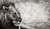 stock photo of growl  - Wild African Male Lion resting with space for text - JPG