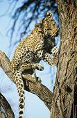 Leopard (Panthera Pardus) climbing tree