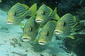 Labios Raja Ampat Indonesia Pacífico oriental dulces (Plecorhinchus orientalis) justo por encima del océano fl