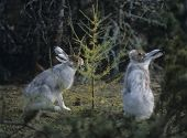 Two hares nibbling on small tree