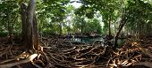 Mangrove trees in a peat swamp forest. Tha Pom canal area, Krabi province, Thailand