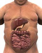 image of intestines  - Intestinal Internal Organs of Overweight Body - JPG