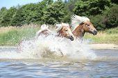 Batch Of Haflingers In Water