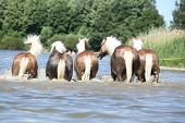 Batch Of Haflingers In Water From Behind
