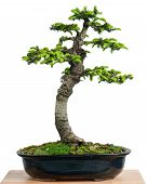 Spruce (picea Orientalis) As Bonsai Tree In A Pot