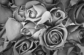 stock photo of bereavement  - background of rose black and white effect - JPG