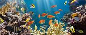 picture of aquatic animals  - Coral and fish in the Red Sea - JPG
