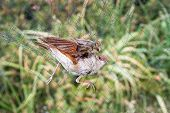 stock photo of nightingale  - The poor Nightingale got caught on the net struggling and tangled - JPG