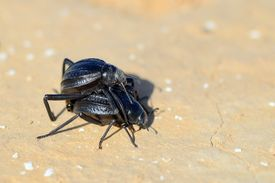 picture of coitus  - Copulation of black bugs in the desert in the spring - JPG