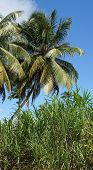 Palm Trees and Cane, Guadeloupe, Caribbean