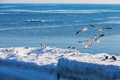 Gulls On Ice