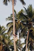 Young African Man Climbs Up The Coconut Palm.