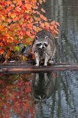 Raccoon (Procyon lotor) Stands Still On Log In Water