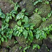 Close Up Parasite Plant On Stone Wall