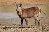 Waterbuck (Kobus ellipsiprymnus) with mud of a drying waterhole, South Africa