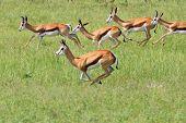 Springbok - Wildlife Background from Africa - Summer Run