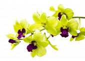 image of yellow orchid  - Bright Green orchid isolated on white background - JPG