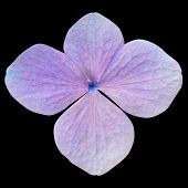 stock photo of hydrangea  - Single Purple Hydrangea Flower Isolated on Black Background - JPG