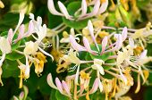 picture of honeysuckle  - Shrubbery with blooming and fragrant honeysuckle flowers in summer - JPG