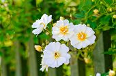 stock photo of climbing roses  - White climbing rose grows at a wooden fence - JPG