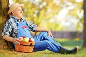 stock photo of dungarees  - Male worker in dungarees with basket of harvested apples sitting in orchard - JPG